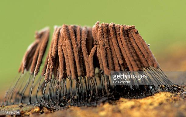 Fruiting Bodies (Stemonitis fusca) of slime mould (Myxomycetes) on decaying wood, Michigan, USA