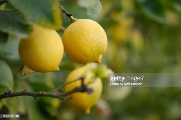 Fruiting lemon tree