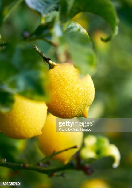 fruiting lemon tree - fruit tree stock pictures, royalty-free photos & images