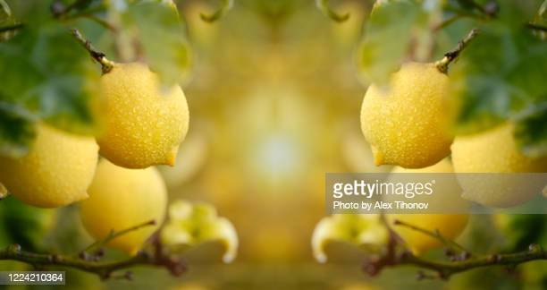 fruiting tree with ripe lemon close up, horizontal banner - grove stock pictures, royalty-free photos & images