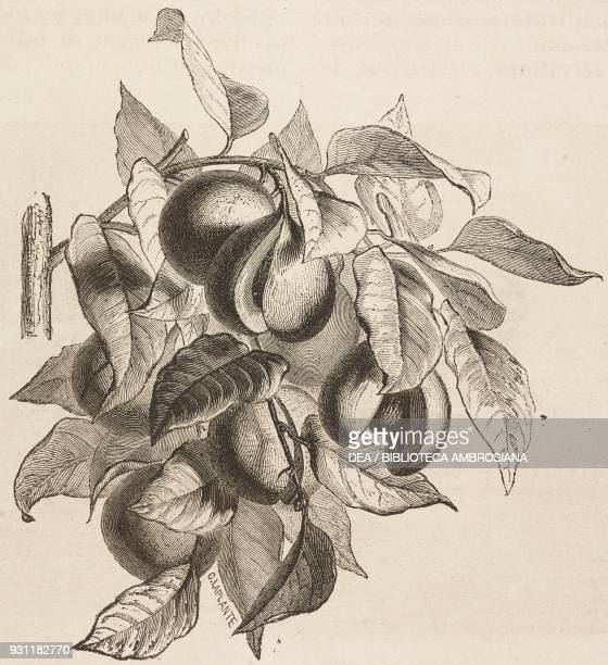 Fruits from the nutmeg tree drawing from The Malay Archipelago 18611862 by Alfred Russell Wallace from Il Giro del mondo Journal of geography travel...