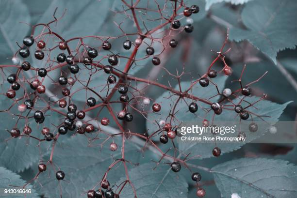 fruits of summer - uncultivated stock pictures, royalty-free photos & images