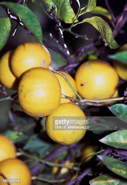 Fruits of the Bergamot Orange Rutaceae