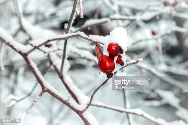 Fruits of wild rose covered with snow