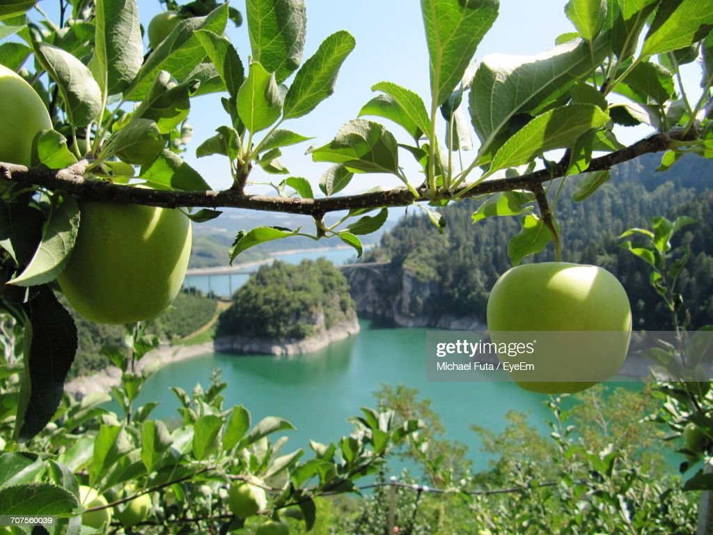 Fruits On Tree By Sea Against Sky : Stock Photo