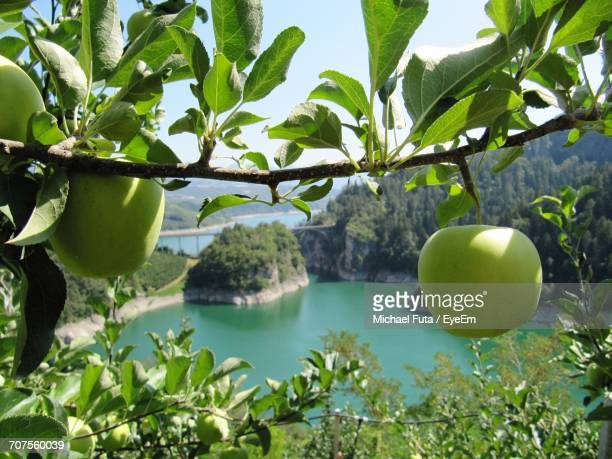 fruits on tree by sea against sky - futa stock photos and pictures