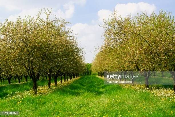 fruity promise - orchard stockfoto's en -beelden