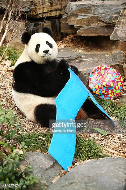Fu Ni plays with the card board number 9 as the giant panda is treated to specially prepared panda treats for her birthday at the Adelaide Zoo on...