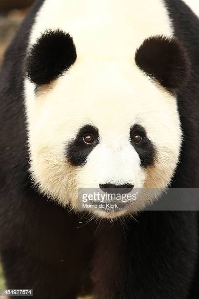 Fu Ni the giant panda looks on as she is treated to specially prepared panda treats for her birthday at the Adelaide Zoo on August 23 2015 in...