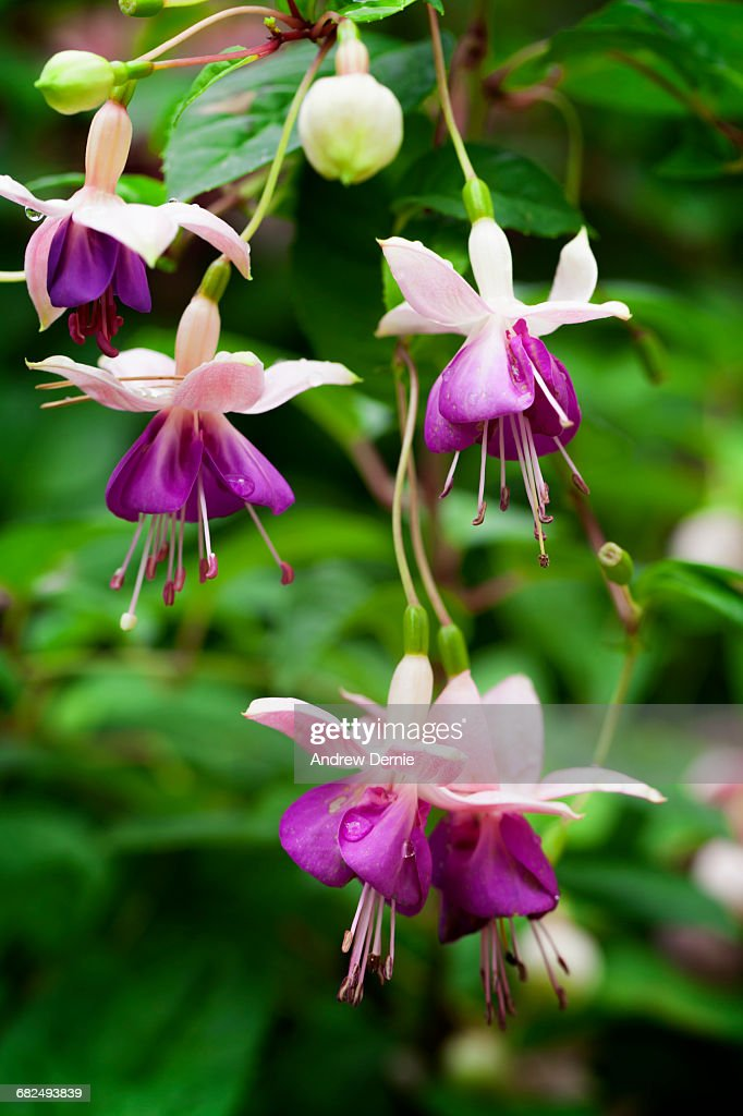 Fuchsia Blooming : Stock Photo