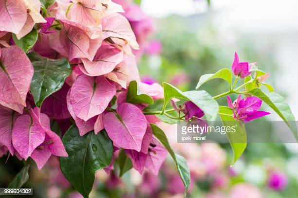 "fuchsia ""lesser bougainvillea"" or ""paperflower - ipek morel stock pictures, royalty-free photos & images"