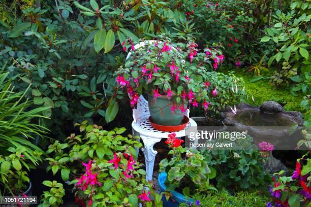 fuchsias and geraniums in patio pots in october. - jardin fleuri photos et images de collection