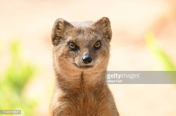 fuchsmanguste - mongoose stock photos and pictures