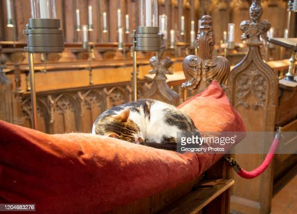 Fudge the cat asleep on cushion inside Norwich Cathedral Norfolk England UK