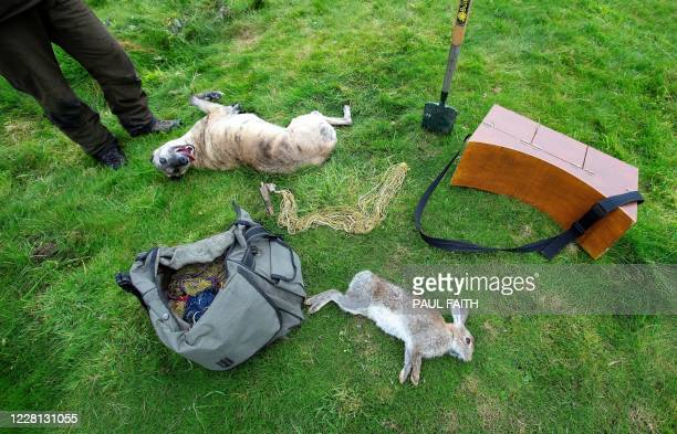 Fudge the dog of professional rabbit catcher Steven McGonigal rolls on the grass near a 'dispatched' our caught rabbit as they hunt for rabbits in...