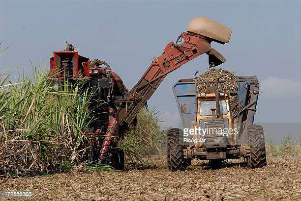 fuel sourcing ethanol in the field - sugar cane stock pictures, royalty-free photos & images