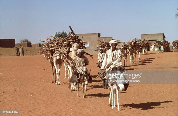 Fuel Wood Sudan Kordofan Province Camel Train Taking Fuelwood To Market In Parts Of The Sahel Trees Are Cut Down Four Times Faster Than They Grow
