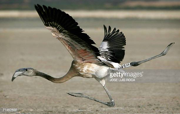 A flamingo chick takes off after being tagging 15 July 2006 at Fuente de Piedra lagoon near Malaga 10400 flamingo chicks have hatched this year in...