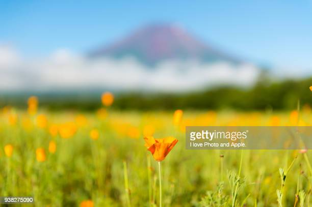 fuji and flowers - california golden poppy stock pictures, royalty-free photos & images