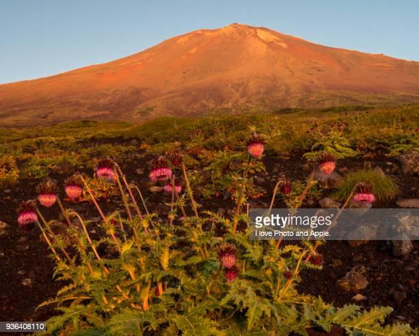 Fuji and Fuji thistle shining in the morning sun