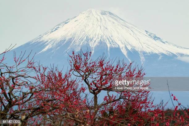 Fuji and plum blossoms