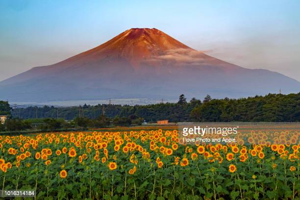 fuji and sunflower - satoyama scenery stock pictures, royalty-free photos & images