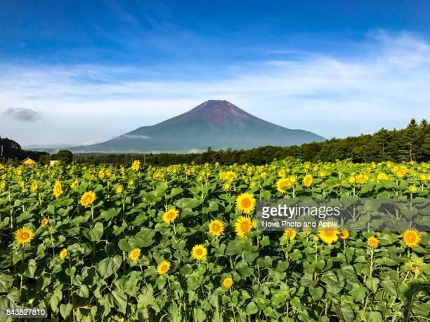fuji and sunflower - 八月 ストックフォトと画像
