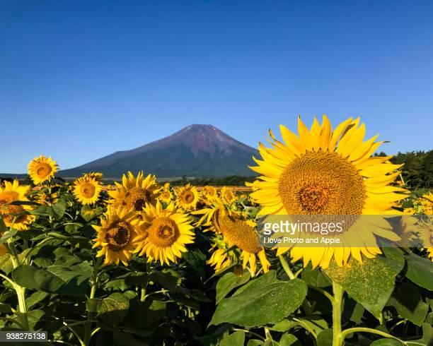 Fuji and Sunflower