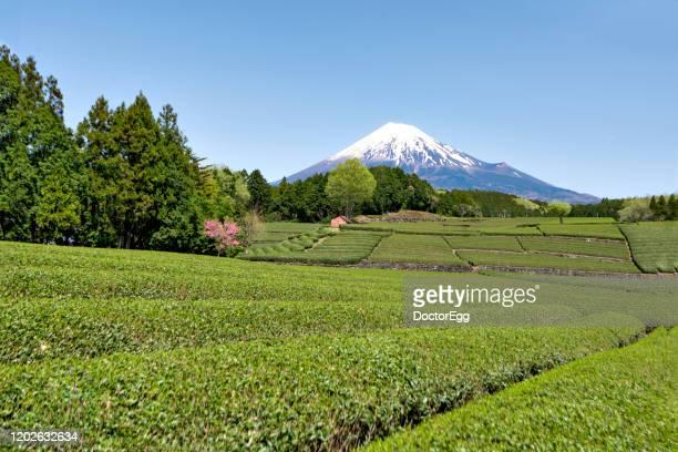 fuji mountain and green tea plantation at obuchi sasaba tea plantation, fujinomiya, shizuoka, japan - 五月 ストックフォトと画像
