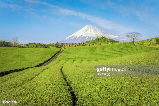 fuji mountain and green tea plantation in blue sky day, japan - shizuoka stock photos and pictures
