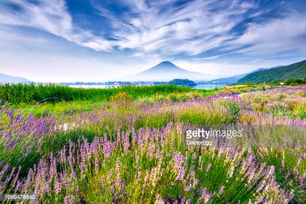 fuji mountain and lavender field at oishi park in summer, kawaguchiko lake, japan - yamanashi prefecture stock pictures, royalty-free photos & images