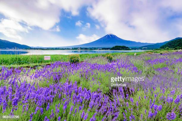 Fuji Mountain and Lavender Field at Oishi Park in Summer, Kawaguchiko Lake, Japan
