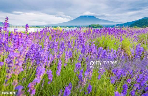 Fuji Mountain and Lavender Field at Oishi Park , Kawaguchiko Lake in Summmer
