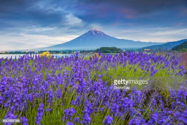 Fuji Mountain and Lavender Field Garden at Oishi Park, Kawaguchiko Lake in Summer