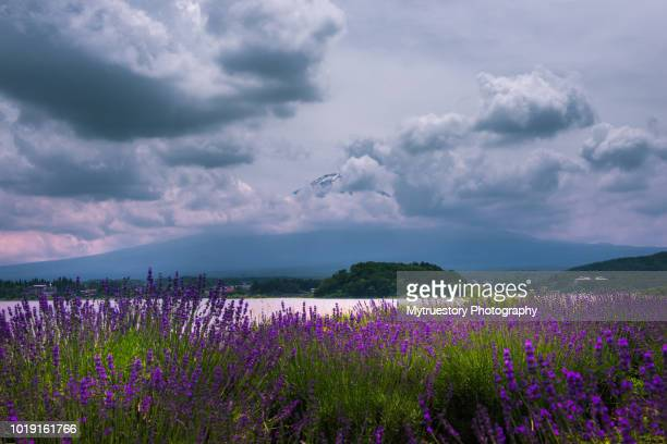 Fuji Mountain and Lavender Field in summer