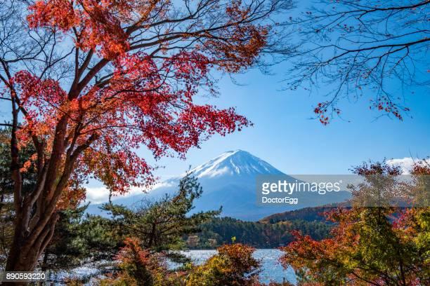 Fuji Mountain and Maple Tree at Momiji Tunnel at Kawaguchiko Lake in Autumn