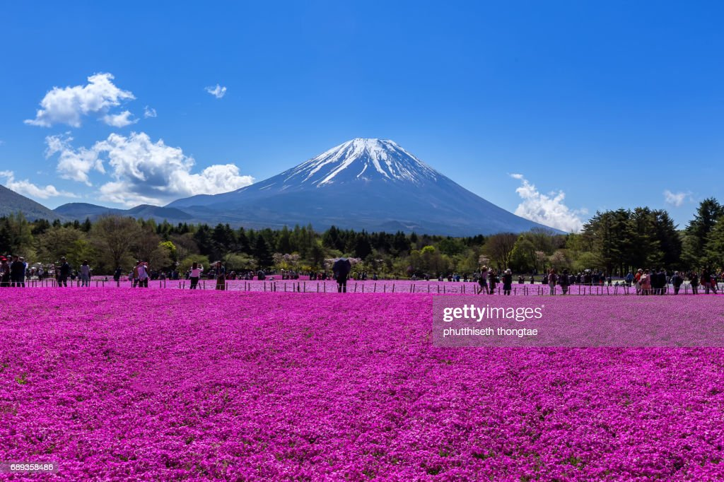 Fuji Mountain and Pink Moss at Shibazakura festival  in Japan. : Foto de stock