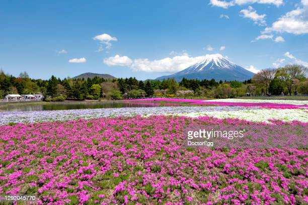 fuji mountain and pink moss shibazakura flower garden in spring neat motosuko lake, japan - 五月 ストックフォトと画像