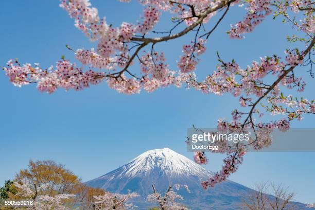 Fuji Mountain and Pink Sakura Branches with Blue Sky at Tanuki Lake in Spring