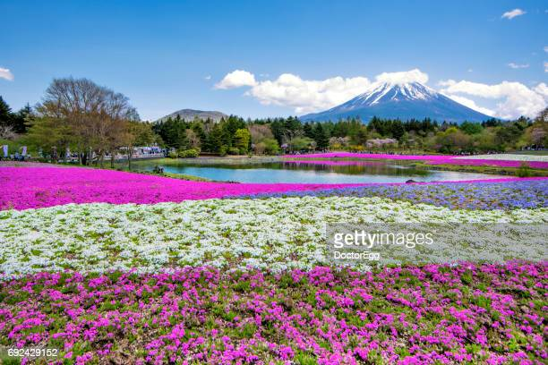 Fuji Mountain and Pink Shibazakura Garden