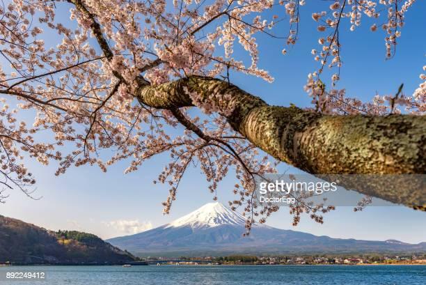 Fuji Mountain and Sakura Branches at Kawaguchiko Lake in Spring
