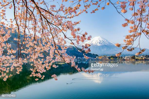 Fuji Mountain and Sakura Branches at Kawaguchiko