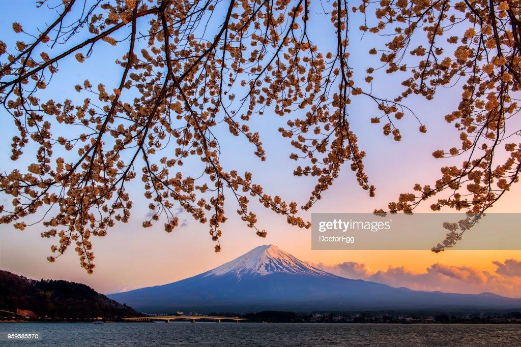 Fuji Mountain and Sakura Branches in Sunset Twilight Time at Kawaguchiko Lake : Stock-Foto