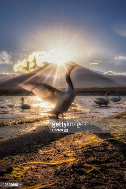 fuji mountain and swan spreading with fuji diamond phenomenon, yamanakako lake, japan - light natural phenomenon stock pictures, royalty-free photos & images