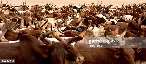 fulani cattle migration - domestic animals ストックフォトと画像