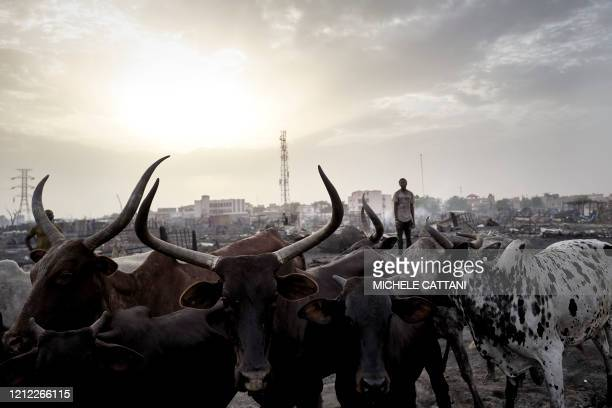 A Fulani herder brings the cattle back to a fenced area a day after that a fire ravaged the camp for displaced people in Bamako on April 29 2020 A...