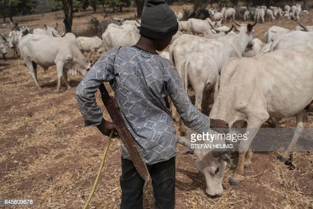 A Fulani herding boy interacts with a cow in a field outside Kaduna northwest Nigeria on February 22 2017 Longstanding tensions between herdsmen and...