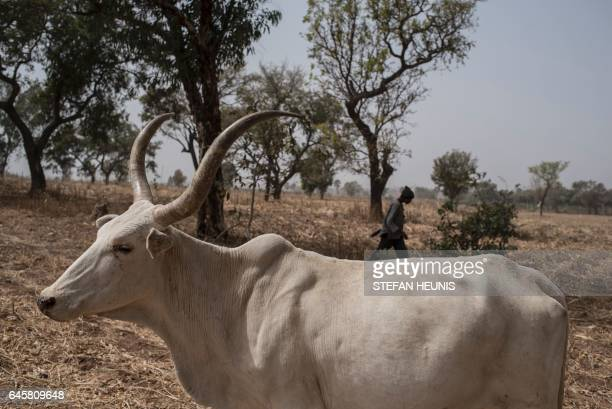 A Fulani herding boy walks with his cows in a field outside Kaduna northwest Nigeria on February 22 2017 Longstanding tensions between herdsmen and...