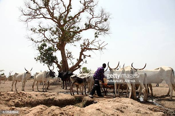 A Fulani herdsman water his cattle on a dusty plain between Malkohi and Yola town on May 7 2015 AFP PHOTO/EMMANUEL AREWA