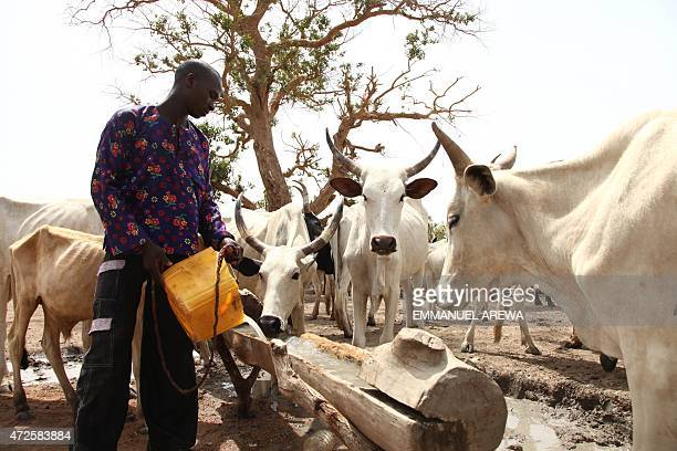 A Fulani herdsman waters his cattle on a dusty plain between Malkohi and Yola town on May 7 2015 AFP PHOTO/EMMANUEL AREWA